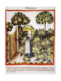 Tacuinum Sanitatis. Late 14th Century. Farmer in Her Orchard with a Basket of Spinach on Her… Giclee Print