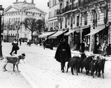Goatherd Driving His Flock of Goats in the Cours De Vincennes, Paris, C.1900 Photographic Print by Louis Vert