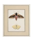 Privet Hawk Moth and Common Brimstone, C.1755-65 Giclee Print by Pierre Francois Ledoulx