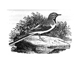 The Grey Wagtail, Illustration from 'A History of British Birds' by Thomas Bewick, First… Giclee Print by Thomas Bewick