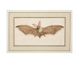 Brown Long-Eared Bat, C.1755-65 Giclee Print by Pierre Francois Ledoulx