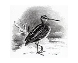 The Common Snipe, Illustration from 'A History of British Birds' by William Yarrell, First… Giclee Print by William Yarrell