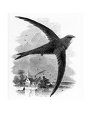 The Common Swift, Illustration from 'A History of British Birds' by William Yarrell, First… Giclee Print by William Yarrell