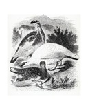 The Ptarmigan, Illustration from 'A History of British Birds' by William Yarrell, First Published… Giclee Print by William Yarrell