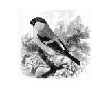 The Bullfinch, Illustration from 'A History of British Birds' by William Yarrell, First Published… Giclee Print by William Yarrell
