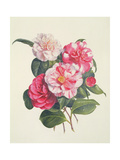 Camelias, C.1840 Giclee Print by Augusta Innes Withers