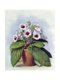 Gloxinia in a Pot, C.1860 Giclee Print by Augusta Innes Withers