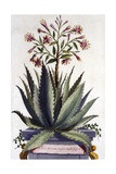 Aloe Serrata Major Umbellifera, from 'Phytographia Curiosa', Published 1702 Giclee Print by Abraham Munting