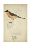 Bessonornis Semirufa, Ruppell, C.1863 Giclee Print by Eduard Ruppell