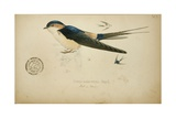 Cecropis Melanocrissus, C.1862 Giclee Print by Eduard Ruppell