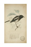 Saxicola Albofasciata, C.1863 Giclee Print by Eduard Ruppell