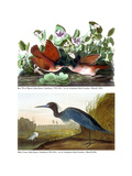 Key West Pigeon and Blue Crane, C.1833-36 Giclee Print by John James Audubon