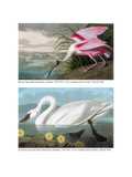 Roseate Spoonbill and Common American Swan, 1836 Giclee Print by John James Audubon