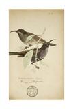 Nectarinia Cruentata, C.1863 Giclee Print by Eduard Ruppell