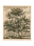 The Cedar in the Palace Garden at Enfield, Middlesex Giclee Print by Jacob George Strutt