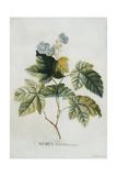 Rubus, 1744 Giclee Print by Georg Dionysius Ehret