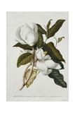Magnolia Giclee Print by Georg Dionysius Ehret
