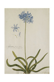 Agapanthus Giclee Print by Georg Dionysius Ehret