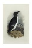 A Razorbill Giclee Print by Archibald Thorburn