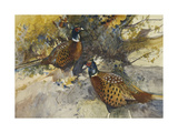 Cock Pheasants under a Beech Tree Reproduction procédé giclée par Frank Southgate