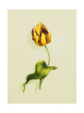 A Parrot Tulip, 1826 Giclee Print by James Holland