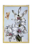 The Great White Lily, C.1766 Giclee Print by Pierre-Joseph Buchoz