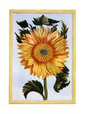 Sunflower, C.1766 Giclee Print by Pierre-Joseph Buchoz