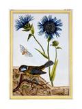 Cornflower, C.1766 Giclee Print by Pierre-Joseph Buchoz