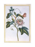 La Grenadille or Le Maracot (Blue Passion Flower), C.1766 Giclee Print by Pierre-Joseph Buchoz