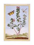 Le Petit Arbousier Des Alpes (Mountain Heather), C.1776 Giclee Print by Pierre-Joseph Buchoz