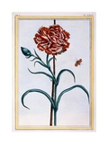 Carnation, C.1776 Giclee Print by Pierre-Joseph Buchoz