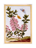 Sheep's Laurel (Kalmia Augustifolia), C.1766 Giclee Print by Pierre-Joseph Buchoz