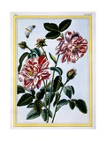 The Variegated Rose of England; Probably in Fact Rosa Gallica, C.1766 Giclee Print by Pierre-Joseph Buchoz