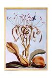 Sea Daffodil, C.1776 Giclee Print by Pierre-Joseph Buchoz