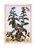 Heliotrope or Cherry-Pie, C.1766 Giclee Print by Pierre-Joseph Buchoz