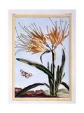 Lily, C.1766 Giclee Print by Pierre-Joseph Buchoz