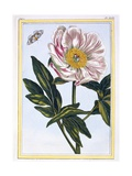 Flesh Coloured Common Peony, C.1766 Giclee Print by Pierre-Joseph Buchoz