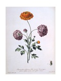 Ranunculus, Illustration from 'The British Herbalist', 1769 Giclee Print by John Edwards