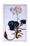 Proboscis Flower Giclee Print by Pierre-Joseph Buchoz
