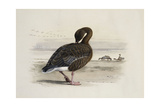 A Pink-Footed Goose Giclee Print by Archibald Thorburn