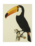 The Toco Toco Toucan (Ramphastos Toco) Giclee Print by Jacques Barraband