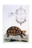 Testudo Sulcata, 1796 Giclee Print by John Frederick Miller