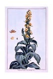 Great Mullein Giclee Print by Pierre-Joseph Buchoz