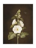 A Hollyhock Giclee Print by Barbara Regina Dietzsch