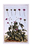 Flowering Maple or Indian Mallow Giclee Print by Pierre-Joseph Buchoz