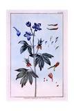 Delphinium Giclee Print by Pierre-Joseph Buchoz