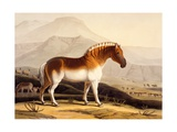 The Quahkah, from 'African Scenery and Animals', 1804-05 Giclee Print by Samuel Daniell