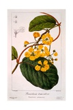 Banisteria Tomentosa, 1836 Giclee Print by Pancrace Bessa