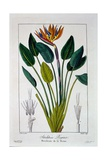 Bird of Paradise, or Crane Flower, 1836 Giclee Print by Pancrace Bessa