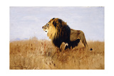 Lion Watching for Prey Giclee Print by Wilhelm Kuhnert
